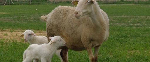 Cría, recría y cebo en ganadería ecologica